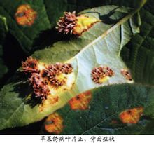 Apple Rust
